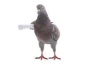 Как выдрессировать голубя