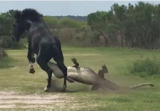 Безбашенная лошадь напала на огромного крокодила! Невероятное видео!