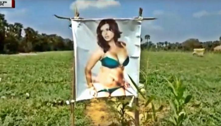 Фото №2 - Индийский фермер расставил на поле плакаты с порнозвездой, чтобы защитить урожай