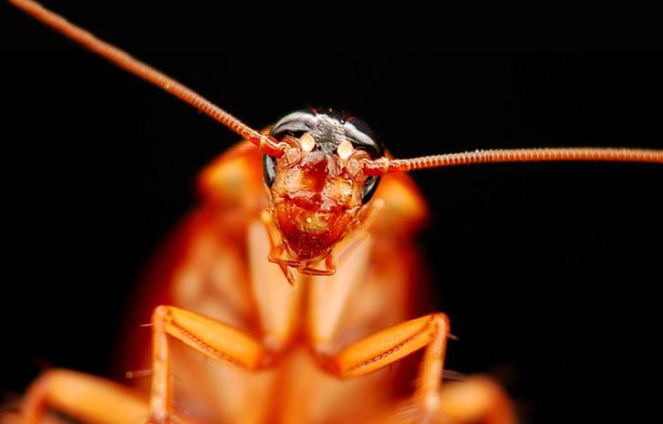 Фото №5 - Приключения неуловимых: юркая статья о тараканах