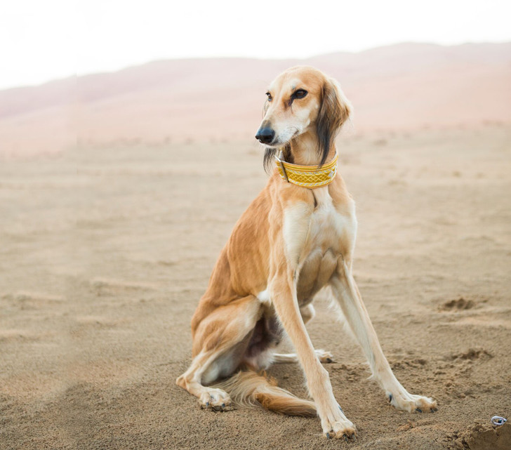 Фото №2 - Пять самых древних пород собак