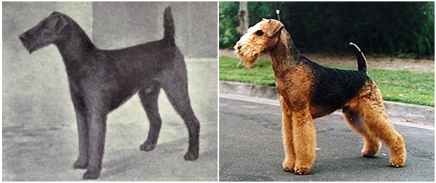 Фото №5 - Как изменились породы собак за 100 лет