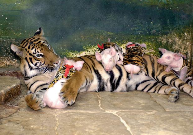 Тигрица и поросята
