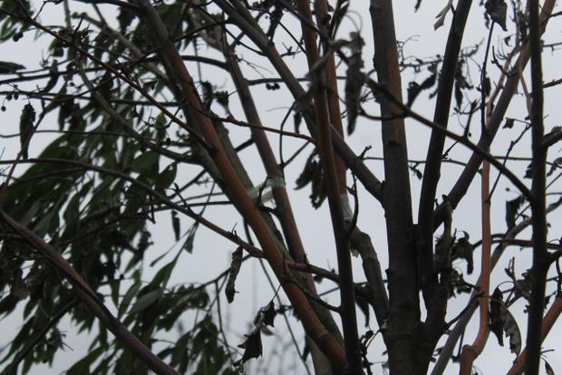 Фото №4 - Питерские коммунальщики отремонтировали засохшие деревья, приклеив к ним зеленые ветки