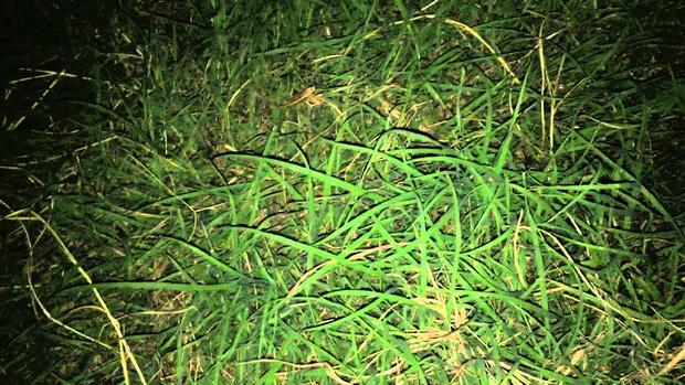 Фото №1 - Если ночью на газоне как будто россыпь блесток, то лучше беги. ВИДЕО объяснит почему