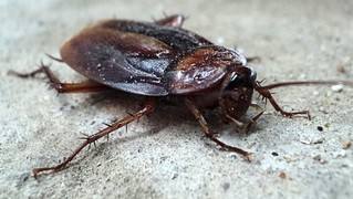 Самый непобедимый таракан в мире