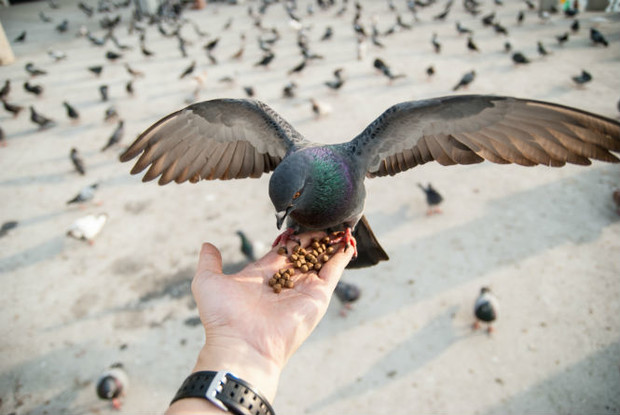 Фото №2 - 8 неожиданных фактов о голубях
