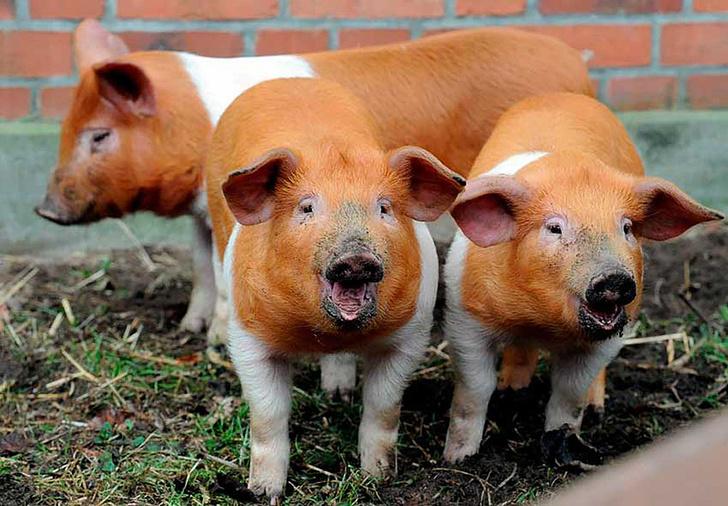 Датская протестная свинья