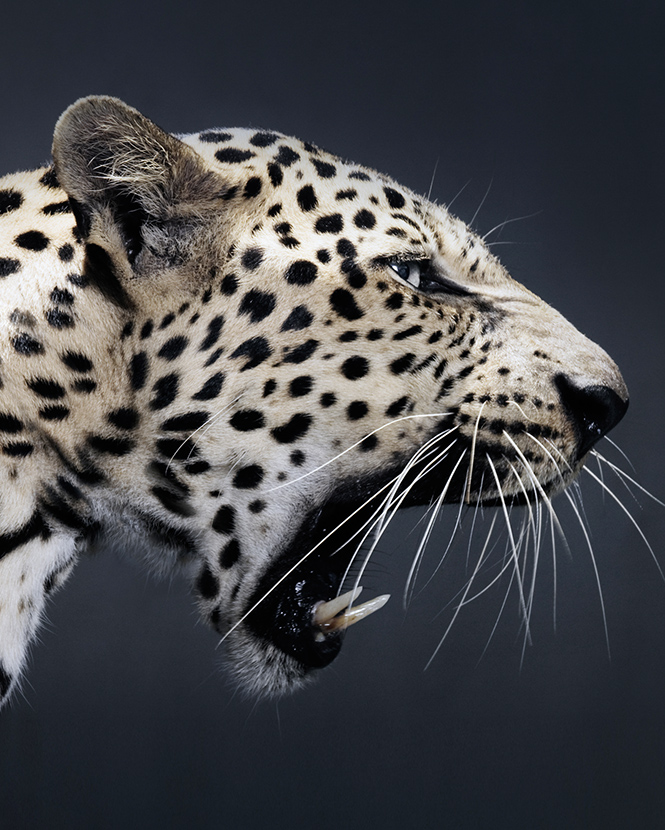 Фото №13 - Крупный домашний кот: как человечество пыталось приручить больших кошек