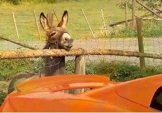 Осел принял суперкар за гигантскую морковку и обглодал его на кругленькую сумму! Нет, ну не осел?!