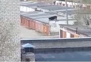 Корова, гуляющая по крышам гаражей на Урале, озадачила Интернет (загадочное видео)