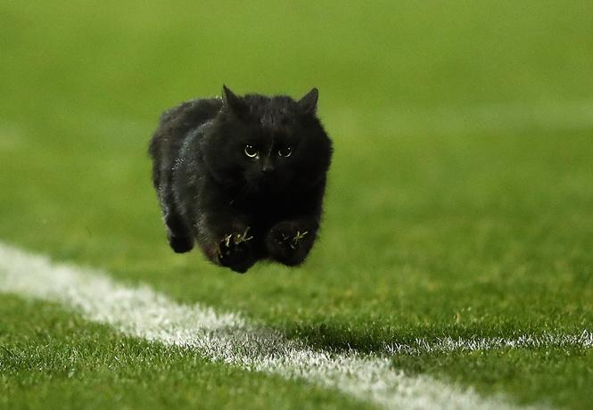 шикарный черный кот главной звездой регбийного матча
