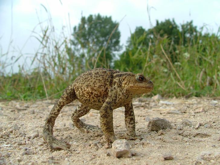 Фото №3 - 20 лучших фото жаб всех времен и народов!