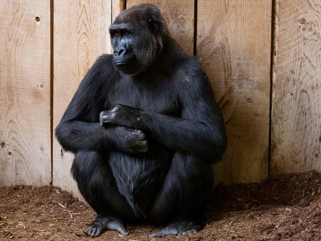 Фото №1 - Реверсивный поиск Google не распознает горилл. Да-да, из-за обвинений в расизме