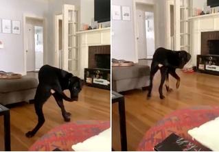 Бойся своих желаний: собака поймала свой хвост и не знает, что с ним делать дальше (видео)
