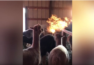Огнедышащая альпака из Колорадо взбудоражила общественность! (ВИДЕО)