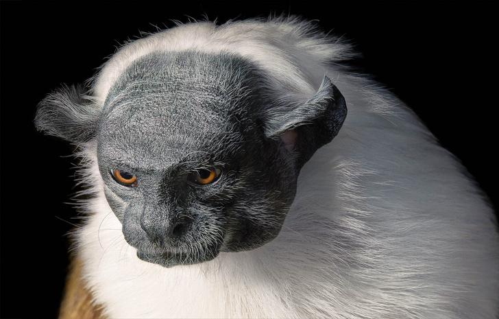 Фото №1 - 16 портретов вымирающих животных, которых ты рискуешь больше никогда не увидеть живьем