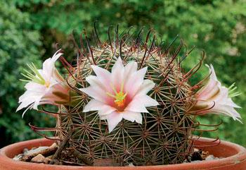 Фото №1 - Растить кактус