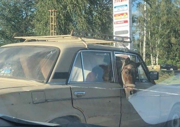 Фото №1 - Конь в авто: очевидцы сняли очень странную  поездку непарнокопытного в «Жигулях»
