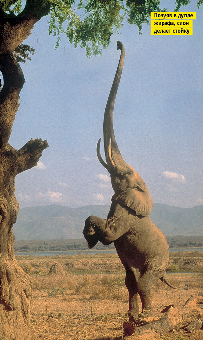 Фото №2 - Слонопотамия. 13 фотоисторий из жизни слонов