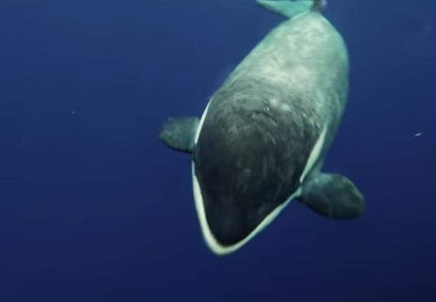 Фото №1 - Кит-убийца принес дайверу поесть и оказался весьма мил (подводное видео)