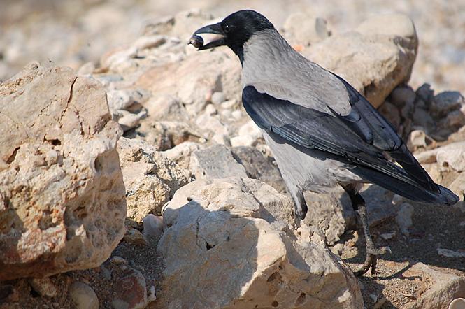 Вороны серая и черная