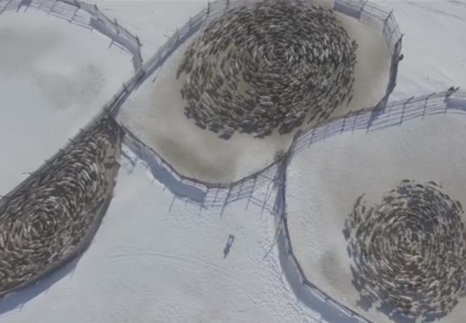 Мистическое и красивое ВИДЕО, в котором олени ходят кругами на Кольском полуострове, заинтриговало Интернет
