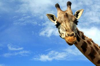 Фото №1 - 15 малоизвестных фактов о… жирафах
