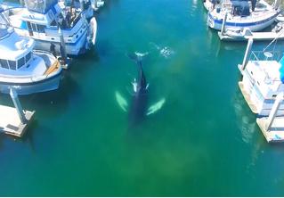 Кит заплыл в тихую гавань и стал героем величественного видео
