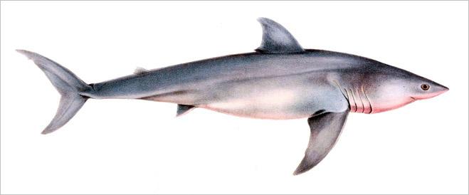 Фото №16 - Рыба-Гитлер. Исчерпывающий материал об акулах, после которого ты больше никогда не поедешь на море или океан