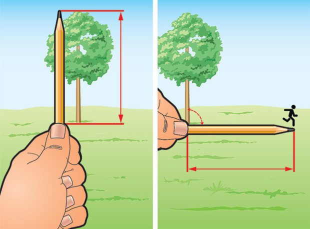 Фото №2 - Как измерить высоту дерева