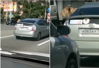 Ничего особенного: просто видео, как лев едет в машине по улицам Владивостока