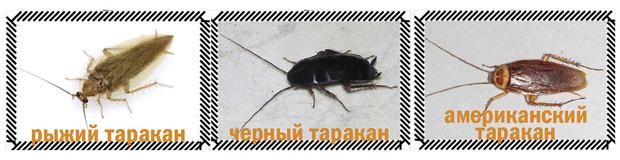 Фото №2 - Приключения неуловимых: юркая статья о тараканах
