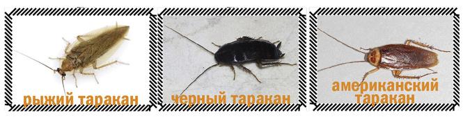 Приключения неуловимых: тараканы вернулись в Россию!