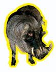 Бородавочник по имени Phacochoerus Фунтик