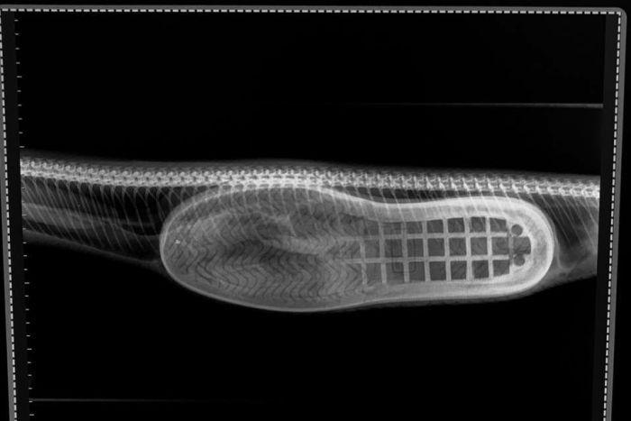 Фото №3 - Австралийский пенсионер нашел потерянную тапочку в желудке у гигантской змеи (ФОТО)
