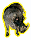 Phacochoerus Фунтик