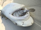 Редчайшее фото! Смерть акулы от обжорства!