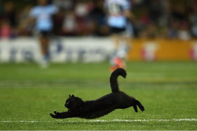 Шикарный черный кот стал главной звездой регбийного матча