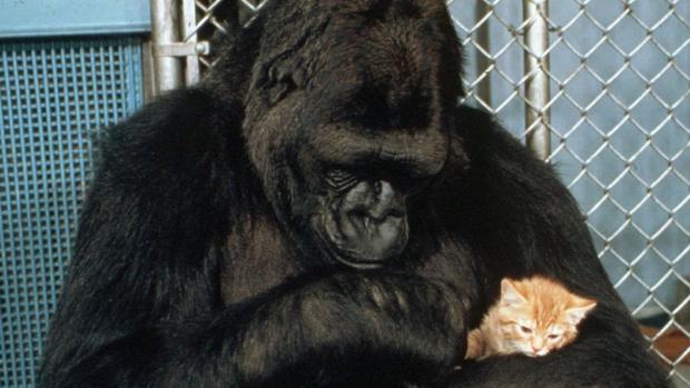 Фото №1 - Умерла горилла Коко — первое животное, выучившее человеческий язык