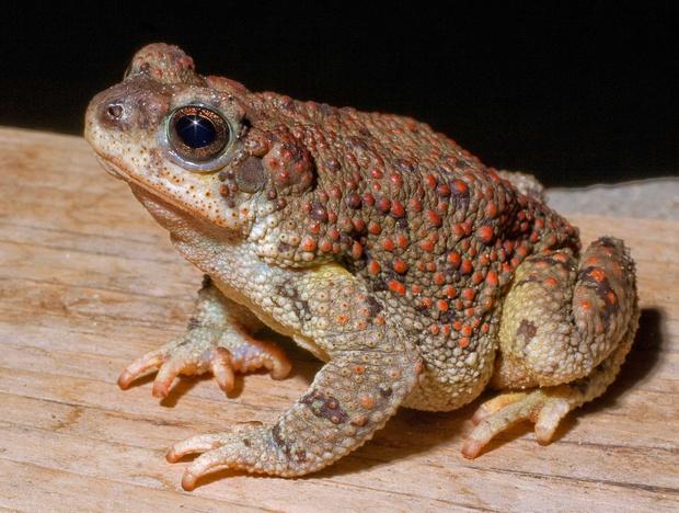 Фото №13 - 20 лучших фото жаб всех времен и народов!