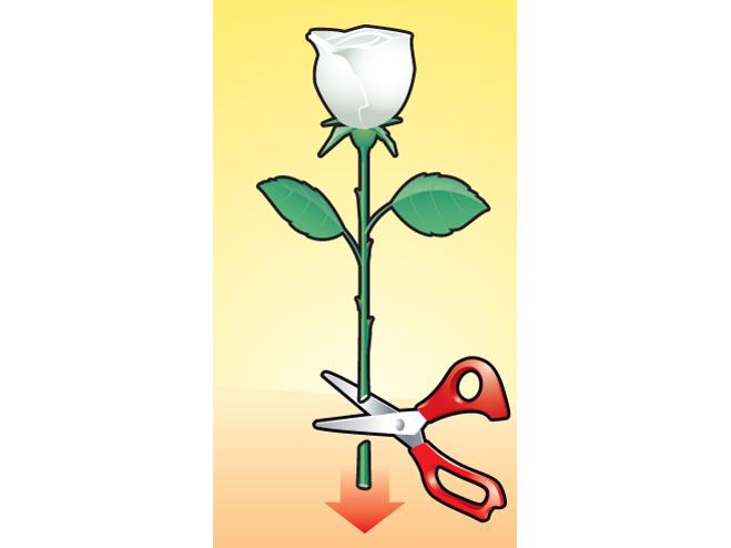 Как перекрасить розу