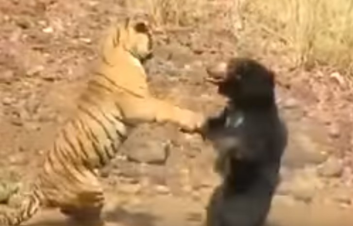 Фото №1 - Кровожадная драка тигра с медведем! Редчайшее ВИДЕО