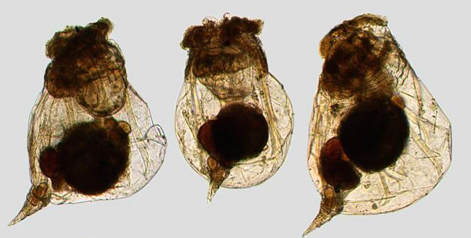 Коловратка  Monogononta