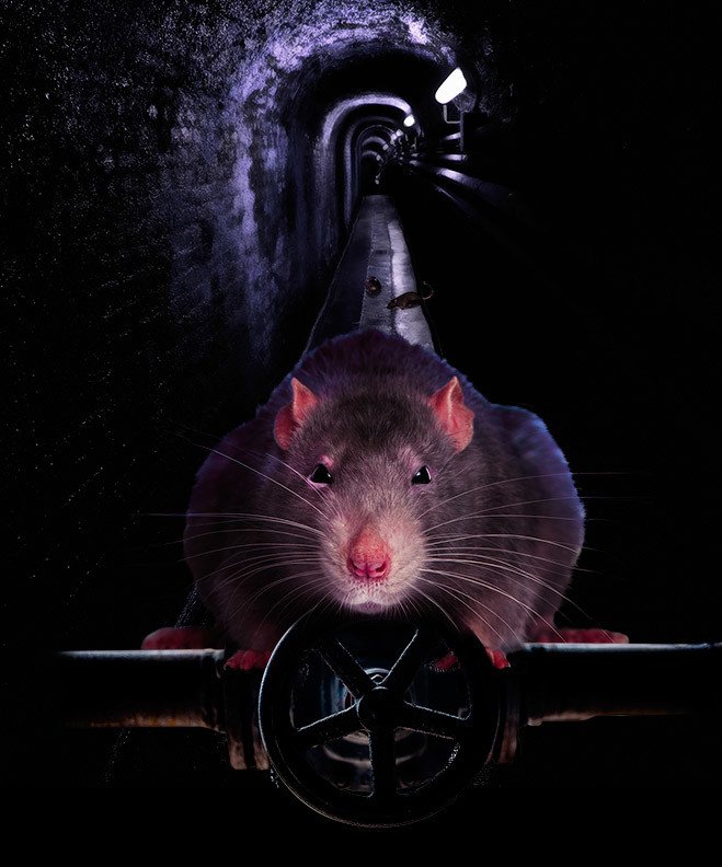 Все о крысах