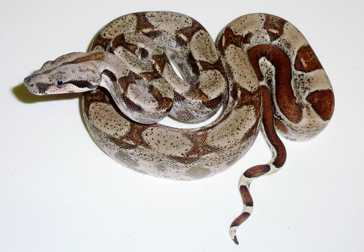 Фото №4 - Как завести дома сторожевую змею