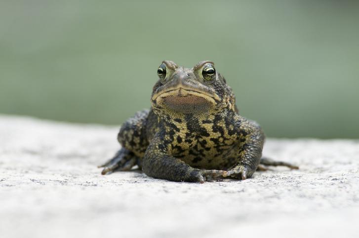Фото №16 - 20 лучших фото жаб всех времен и народов!