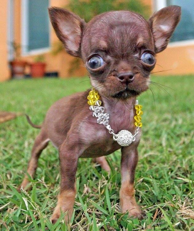 Фото №2 - Самую маленькую в мире собаку клонировали 49 раз!