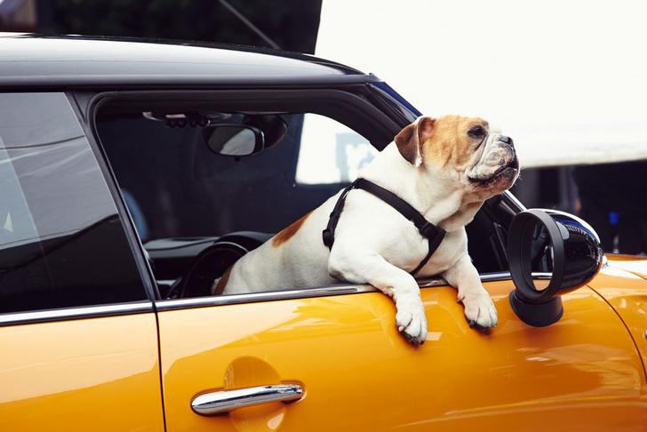 Фото №1 - Что случится с собакой в запертой на солнцепеке машине? (Тревожное ВИДЕО)