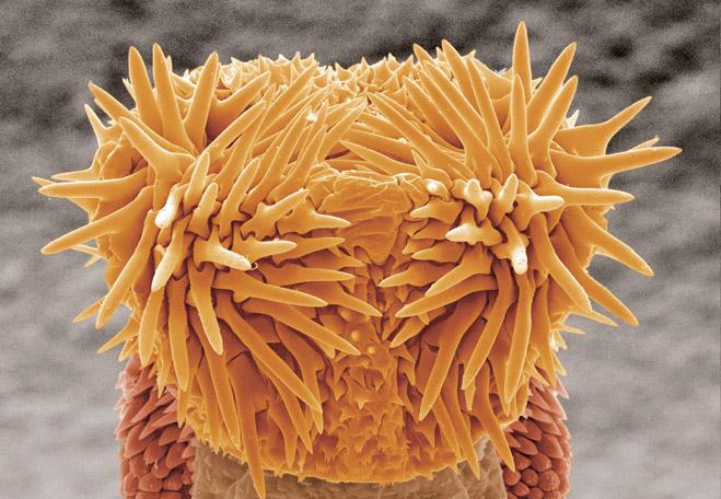 Пенис  четырехпятнистой зерновки Callosobruchus maculatus